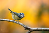 Blue Tit (ABPhotosUK) Tags: animals birds bluetit bokeh canon cyanistescaeruleus dartmoor devon ef100400mmisii eos7dmarkii garden nocrop paridae seasons tits wildlife winter wow