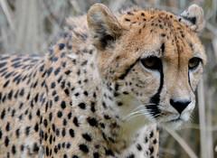 cheetah at the zoo (rudydlc81) Tags: cheetah washingtondc dczoo