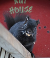 Baby It's Cold Outside! Black Squirrel (DaPuglet) Tags: squirrel blacksquirrel animals wildlife nature winter cold weather ice house black icy icicles snow animal mammal squirrels nuthouse squirrelhouse outdoor outside funny lol whiskers
