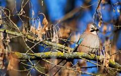 Der möchtegern hält wieder mal Abstand, da hat er wohl Pech, (baerchen57) Tags: tiere animals hallesaale natur eichelhäher sperlingsvögel rabenvogel