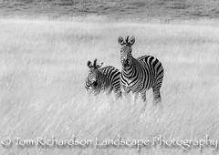 Zebra and foal (tomrichardson931) Tags: hwangenationalpark zimbabwe eveninglight burchellszebra matabelelandnorth zw
