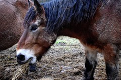 eating horse (jessie_with_the_camera) Tags: eating horse food riding animal animals nature animalsinnature cute kawaii