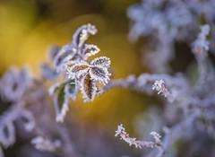 Essentials (Stadt_Kind) Tags: germany bavaria kempten fullframe vollformat emount sonyalpha sonyilce7m2 sonyfe2890macrogoss depthoffield doflicious dof bokehandblur bokehmasters bokehaddicts bokeh stadtkind macrophotography macro morning leaves leaf frozen frost winter naturephotography nature