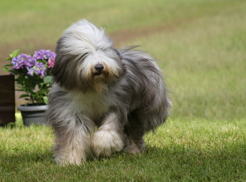 Bearded Collie at dog show