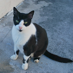 Key West (Florida) Trip 2016 0093Ri sq (edgarandron - Busy!) Tags: clyde cat cats kitty kitties tabby tabbies cute feline