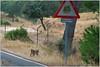 2016-12-13_02-22-34 (A Alejandro) Tags: lince felino ibérico iberian lynx gato lynxpardinuslinceibérico lynxpardinus linceibérico