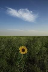 Irkaya Farm - Qatar (zai Qtr) Tags: irkayafarmqatar irkayafarm qatar nature green clouds sunflower sky doha salwa winter2016 exploreqatar