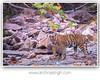 Wild India (Archna Singh Photography and Design Studio) Tags: wildindia wildlife incredibleindia tiger tigers royalbengaltiger ranthambhore india