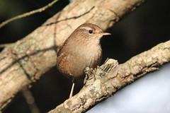 Troglodyte mignon - Troglodytes troglodytes (aiglonne) Tags: grangettes vaud suisse romande léman birds aves troglodyte mignon troglodytes sauvage wild oiseau
