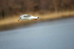 black headed gull (Black Hound) Tags: sony a500 minolta gulls blackheadedgull johnheinznationalwildliferefuge johnheinznwr bird