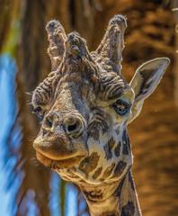 The Giraffe (Trav H) Tags: zoosvictoria animal animals australia melbourne melbournezoo parkville victoria wildlife zoo animales animallovers animalphotography animalplanet animalsofinstagram fauna giraffe giraffes wildlifeonearth zoophotography зоопарк 動物園