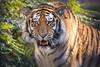 Aljoscha (DeanB Photography) Tags: zoo hannover tiger leopard gefährlich raubtier tier animal tiere animals säugetiere raubkatzen