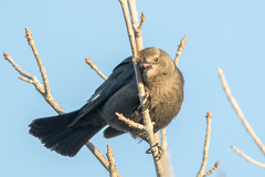 Rusty Blackbird? (gilamonster8) Tags: bird desert duck water waterbird wing flight fishing arizona lake blue beak waterbirds park