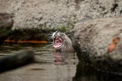 Chompers (radio4) Tags: smallclawedotters amblonyxcinereus otter tarongazoo sydney nsw australia