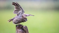 Little Owl is Searching for Balance (Wim Boon (wimzilver)) Tags: rain iso2000 balance wimzilver steenuil uil littleowl vogel bird wimboon sigma150600mmf563dgoshsm|sports canoneos5dmarkiii