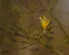 Greenfinch (►►M J Turner Photography ◄◄) Tags: greenfinch bird animal wildlife