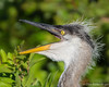 Great Blue Heron Chick (DonMiller_ToGo) Tags: chicks wildflorida wildlife venicerookery nature birds greatblueheron birdwatching rookery d810 outdoors florida
