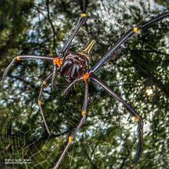 Golden orb weaver (Nephila pilipes) - DSC_9734 (nickybay) Tags: macro singapore jalansamkongsi nephilidae nephila pilipes cctv wideangle fisheye golden orb weaver spider