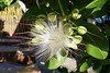 Thailand_2017_003 (planetkarlsson) Tags: thailand flower