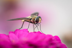 Happy Fly Day Friday! (jciv) Tags: fly file:name=dsc01649 macro flower hoverfly flowerfly set:name=flies