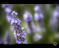 Aromas of Summer I (tomraven) Tags: lavender macro flower flowermacro purple green summer smell aroma tomraven aravenimage q12017 sdquattro sigma