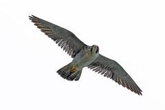 Peregrine FalconUB2A5259 (paulcoltman) Tags: falco peregrinus cliffs breeding sea nests