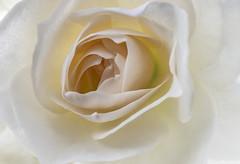 The Nearness Of You (Hanna Tor) Tags: plant flower rose white lyrics 7dwf