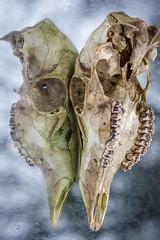 split personality (primemundo) Tags: bone teeth jaw skull deerskull mirror reflection skulltoskull facetoface skulllove