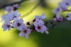 Fleurs de prunus. Plum blooms. (Traveling with Simone) Tags: flower prunus plum pink bokeh fleur fleurir petal blossoms spring