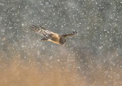 Northern Harrier hunting in the snow (Thomas Muir) Tags: tommuir northernharrier circuscyaneus marshhawk female woodcounty bowlinggreen art ohio hunting flying nikon d800 600mm