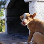 Podenco (10) thumbnail