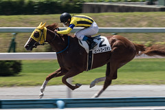 Kokura Racecourse 2015.8.1 (25) Beat Goes On & Suguru Hamanaka (winner) (double-h) Tags: horse race racing horseracing keiba horserace 馬 競馬 jra 競馬場 japanracingassociation 日本中央競馬会 小倉競馬場 ef300mmf28lisiiusm kokuraracecourse 浜中俊 eos7dmarkii kokuraracetrack kokurahorseracecourse ビートゴーズオン