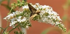 Bilsenkraut Blüteneule [ Gulaktigt knölfly ] ( Heliothis peltigera ) (ritschif) Tags: butterfly falter insekt tier schmetterling fjäril nachtfalter heliothispeltigera bilsenkrautblüteneule gulaktigtknölfly