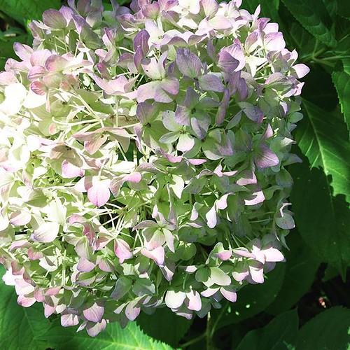 #hydrangea #beauty#flowers