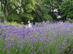 Enjoying lavender... (libra1054) Tags: flowers flores nature fleurs flora natur lavender blumen natura fiori lavande lavanda lavendel