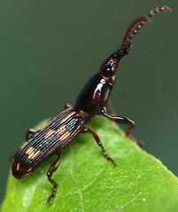 9.3 mm male oak timberworm (ophis) Tags: coleoptera brentidae arrhenodes arrhenodesminutus oaktimberworm brentinae