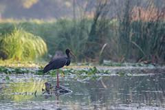 lonely black stork (Zsolt Varanka) Tags: morning bird nature animal hungary wilde telephoto hide gemenc
