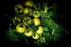 Green tomatoes... (judy dean) Tags: green vegetables garden tomato tomatoes homegrown unripe 2015 judydean sonya6000