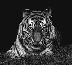 tiger6b&w-1 (tiger3663) Tags: park cat mono big wildlife yorkshire tiger