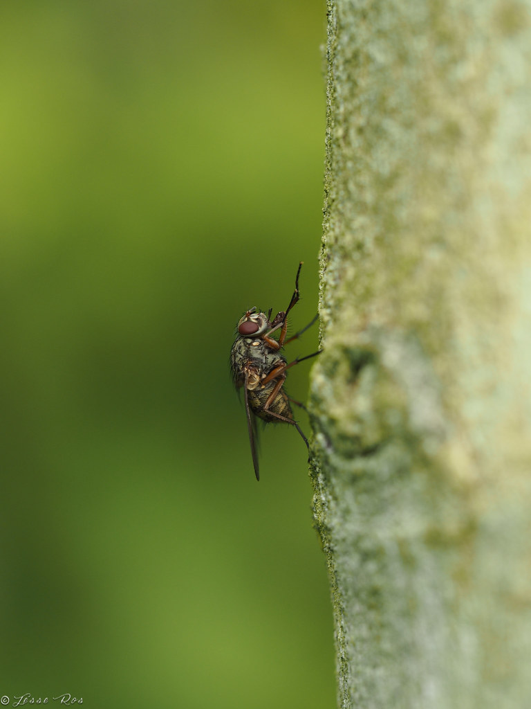 Root-maggot fly (jesse_the_ros) Tags: macro green nature animal insect  photography fly