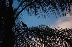 jacupemba (Jos Mauricio Garijo) Tags: nature fauna avifauna jacu penelopesuperciliaris jacupemba borebisp