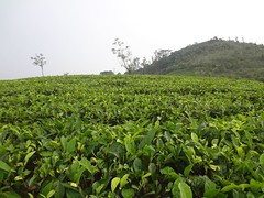 Tea Plantation (Anulal's Photos) Tags: tea camellia teaplantation camelliasinensis chay tealeaves teatree tealeaf teaplant theaceae teavalley teashrub teavally vagamontea vagamonteaplantation teaplantationvagamon teafoliage teaplantationvalley vagamonvally vagamonteavalley