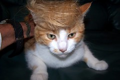 Ginger Trump (m_barje) Tags: cat trump