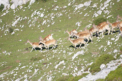 Gamos del Sueve (elosoenpersona) Tags: animal wildlife asturias dama sueve ronca cervus gamos piloña elosoenpersona ungulados