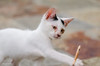 Kitten Playing with a Stick (d-harding) Tags: animals cat nikon kitten malaysia borneo kotakinabalu putatan d5100 nikond5100 sigma105mmf28macroexdgoshsm