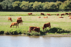 Cows chew the cud by The Stour (Snappy Pete) Tags: uk greatbritain england field animal countryside cow suffolk landmarks pasture rivers sudbury bovine eastanglia stour