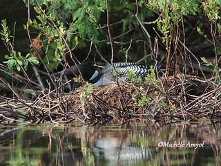 Plongeon huard sur son nid / Common loon on nest