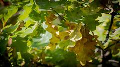 Autunm Oak Leafs (Akito-X) Tags: colors leaf oak herbst bltter farben autunm eiche