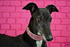 Lady In Pink (houndstooth4) Tags: dog greyhound ddc flattery day293 day293365 dogchal 365the2015edition 3652015 20oct15