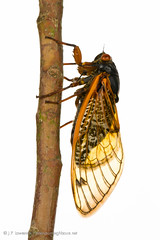 13-Year Periodical Cicada (J.P. Lawrence Photography) Tags: usa animals america bug cicada mississippi insect unitedstates united unitedstatesofamerica north insects places bugs your oxford northamerica states neighbours meet arthropods arthropoda invertebrate invertebrates entomology arthropod brood magicicada insecta myn periodicalcicada truebugs hemiptera xxiii cicadidae 13yearcicada meetyourneighbours magicicadatredecassini tredecassini broodxxiii 13yearperiodicalcicada